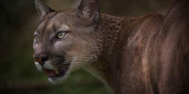 """Au Canada, le """"harcèlement"""" de cougar peut coûter cher"""
