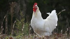 Le coq Coquelicot au cœur d'un litige de voisinage dans le Périgord