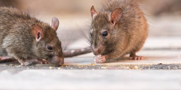 """Nice : envahis par les rats, les habitants d'un quartier vivent """"un enfer"""""""