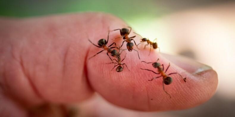 Un Singapourien propose des fourmis comme animaux de compagnie