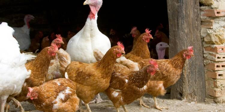 Grippe aviaire : le gouvernement renforce les mesures de prévention