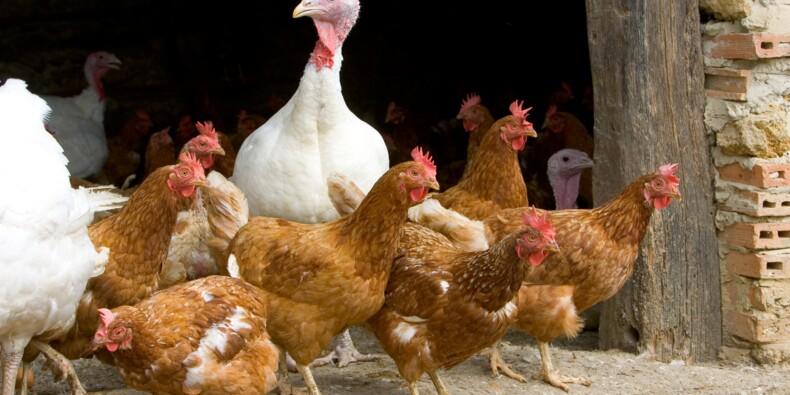Grippe aviaire : un nouvel élevage touché dans les Hautes-Pyrénées