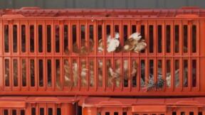 La grippe aviaire s'étend en France : un 2e foyer identifié en Ile de France