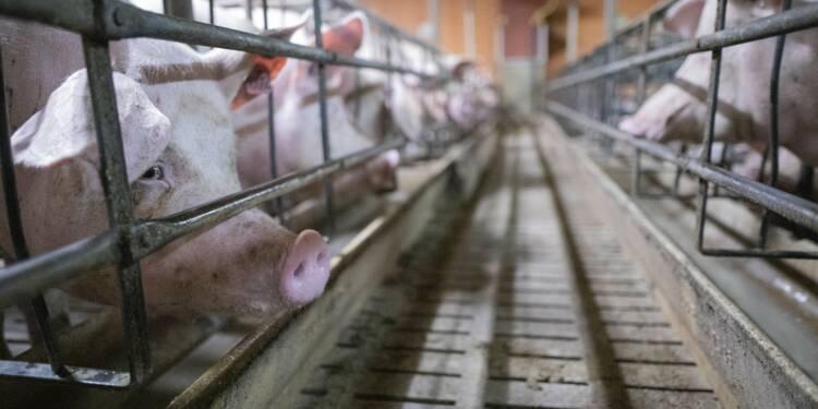 Herta souffre au Royaume-Uni des révélations de L214 sur de mauvais traitements de cochons