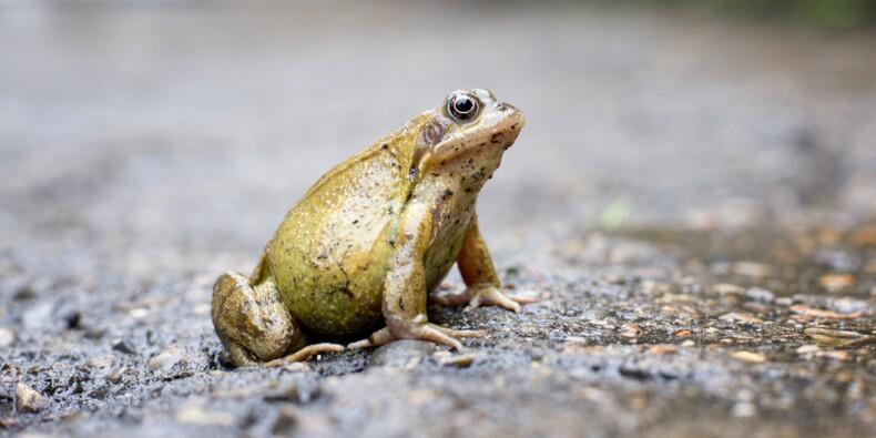 Une route bretonne interdite trois mois pour laisser passer les grenouilles