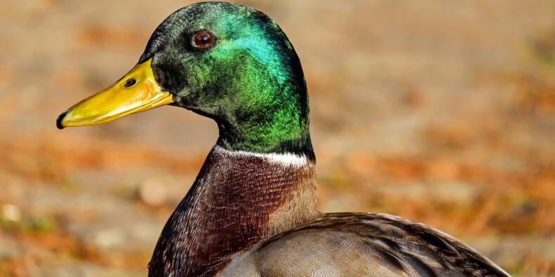 Grippe aviaire : un premier élevage contaminé, des milliers de canards abattus