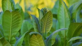 BAT (Lucky strike) vise un vaccin Covid-19 à base de feuilles de tabac