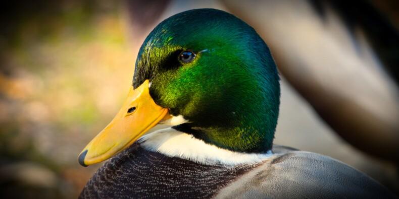 La grippe aviaire s'étend très rapidement, abattages de canards massifs en vue