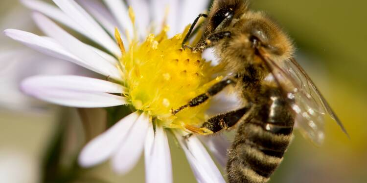 Abeilles: deux nouveaux pesticides sur la sellette devant la justice