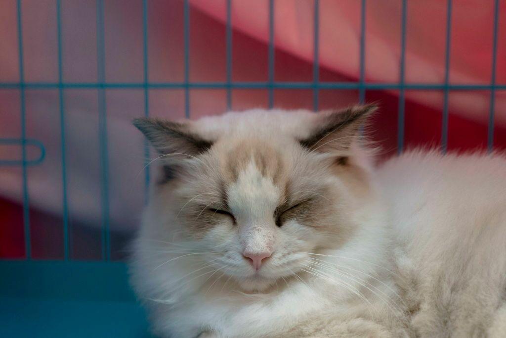 Las 5 razas de gatos más cariñosas