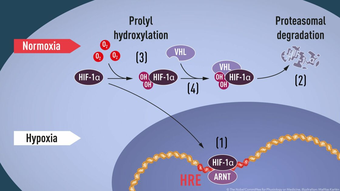 Prix Nobel de médecine : pourquoi cette découverte sur l'oxygéna…