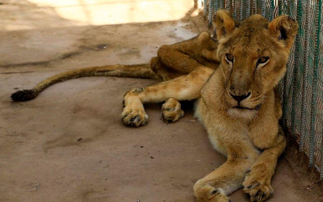 Au Soudan, cinq lions affamés et maltraités sont conservés en captivi…