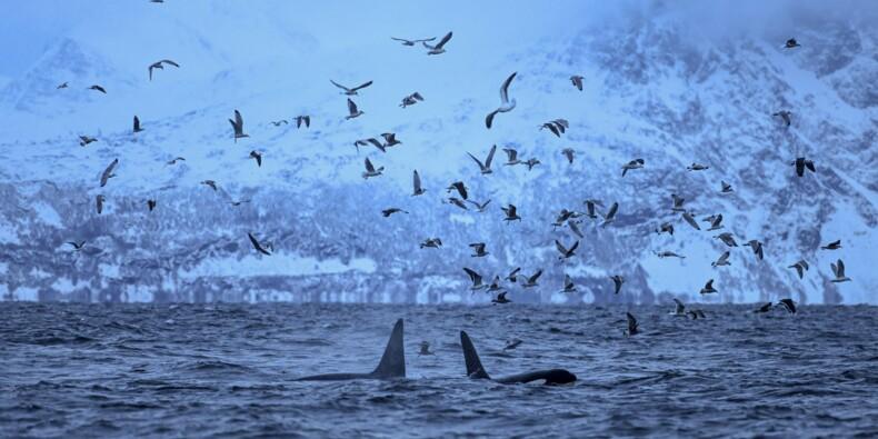 Climat: la grande migration des orques vers le nord