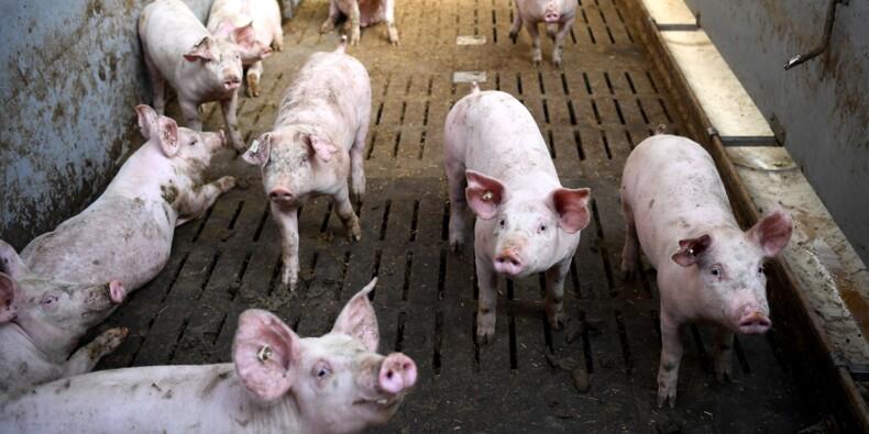Le bien-être animal, argument-clé des éleveurs face aux consommateurs