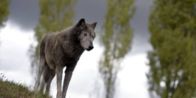 La nouvelle mouture du plan loup ne fait pas l'unanimité