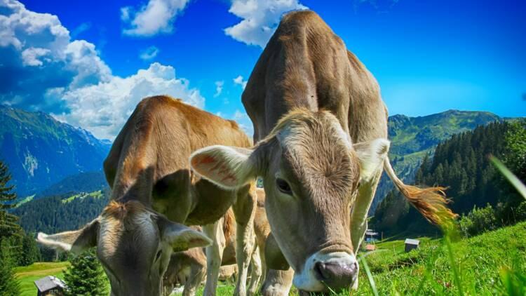 2 agriculteurs du Jura iront en prison pour avoir maltraité leurs bovins