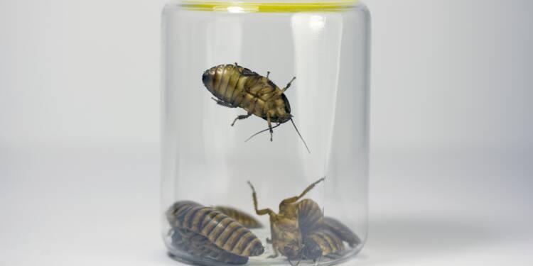 Grillons, mouches... comment les insectes vont nourrir la planète