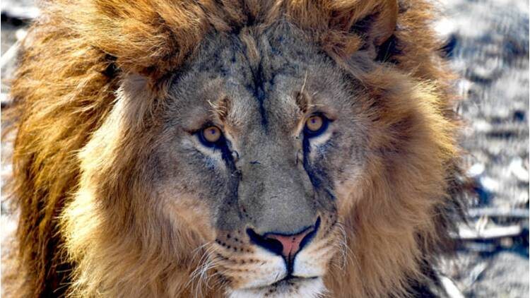 Le retraité s'était fait arracher le bras par un lion en Tanzanie, il fait enfin condamner l'agence