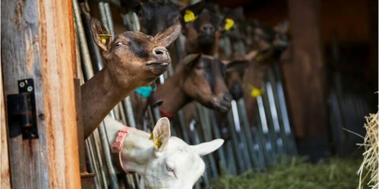 Vous voulez une chèvre dans votre réunion vidéo ? C'est 5 euros