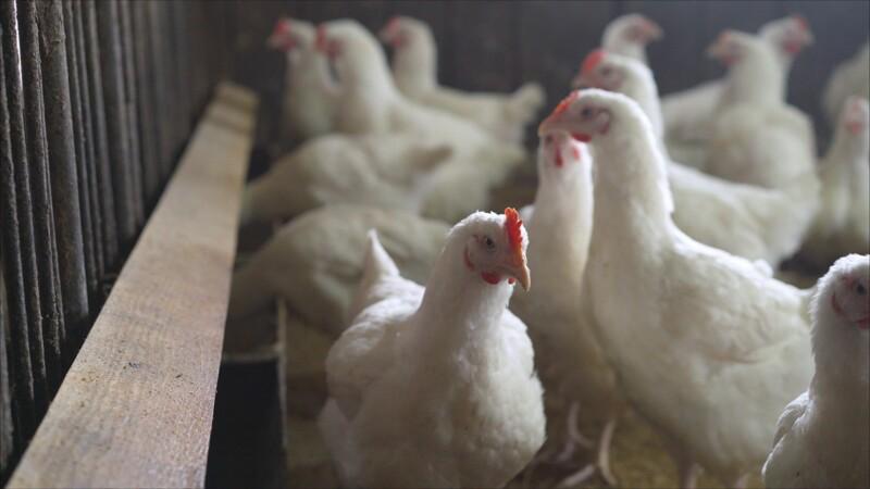 Grippe aviaire : un premier cas de transmission à l'humain détecté en Russie