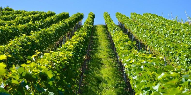 Leurs lampes UV boostent la vigne sans user de pesticides