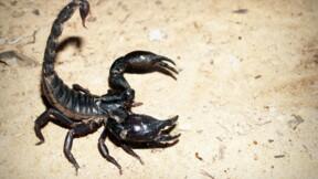Cancer : vers des médicaments à base de venin de scorpion ?