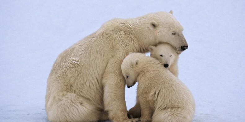 Un hôtel chinois avec un enclos d'ours polaires crée le scandale