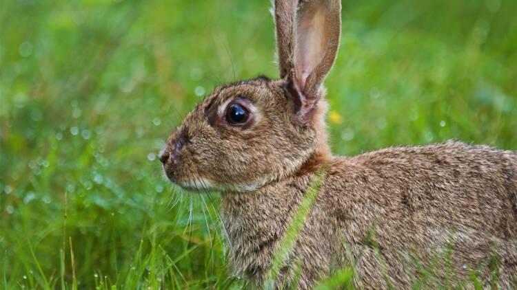"""Une belle récompense pour quiconque retrouve """"Darius"""", le plus gros lapin du monde, volé dans son jardin"""