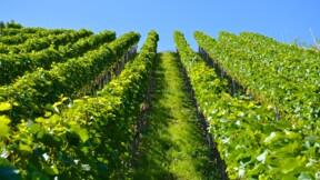 Comment les viticulteurs Champenois ont vaincu le phylloxéra