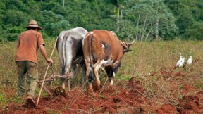 La pénurie de diesel au Venezuela ramène les éleveurs à l'âge de la charrue et des bœufs
