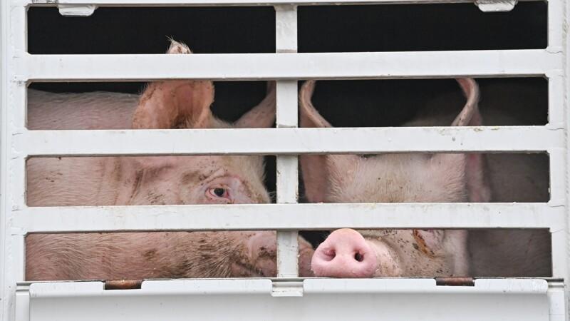 Maltraitance animale : de nouvelles images choc d'un abattoir diffusées par L214