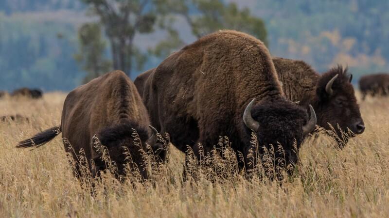 45.000 personnes s'inscrivent à une loterie … pour tuer un bison