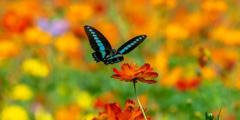 Un papillon vieux de plus d'un siècle de retour en Essonne