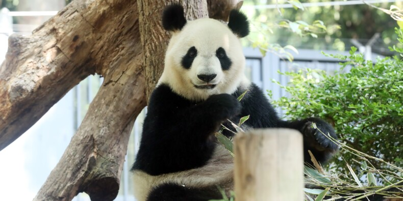 Une chaîne de restaurant s'envole en Bourse... grâce à une possible grossesse d'un panda