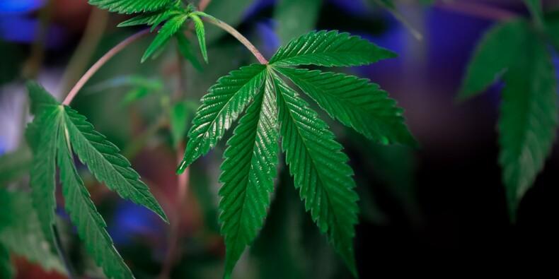 Puy-de-Dôme : des plants de cannabis vendus en grande surface