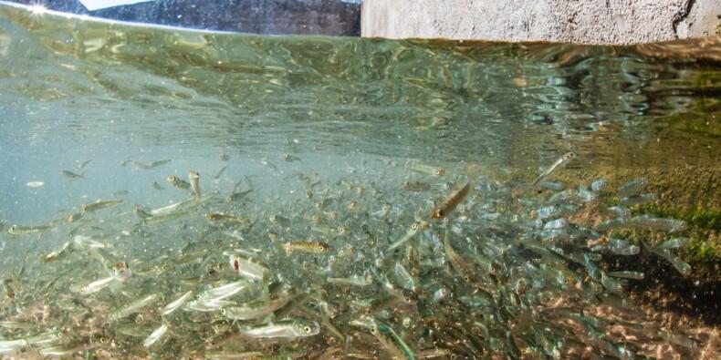 Pour la première fois dans le monde, un pays interdit l'élevage de saumons