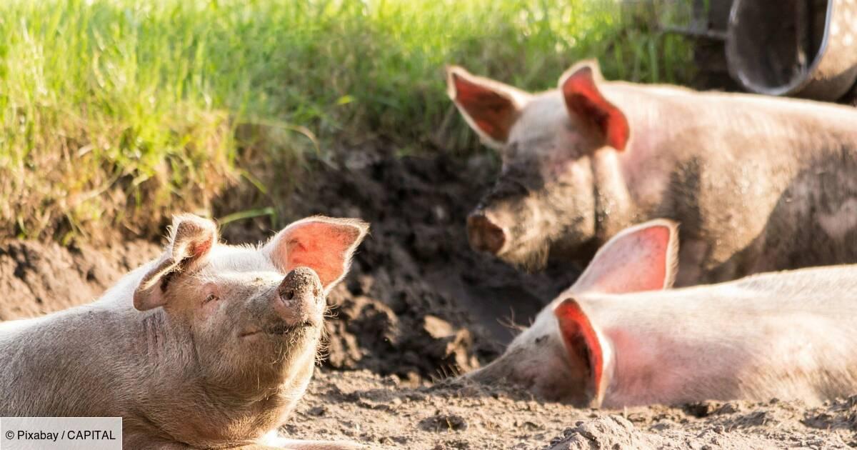À l'aéroport d'Amsterdam, une patrouille de cochons protège le ciel