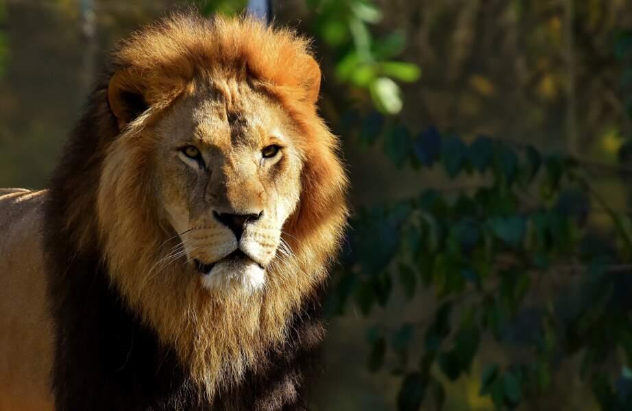 Glaçons au sang pour les lions