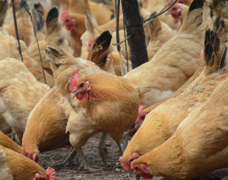 1999 : les poulets à la dioxine se répandent