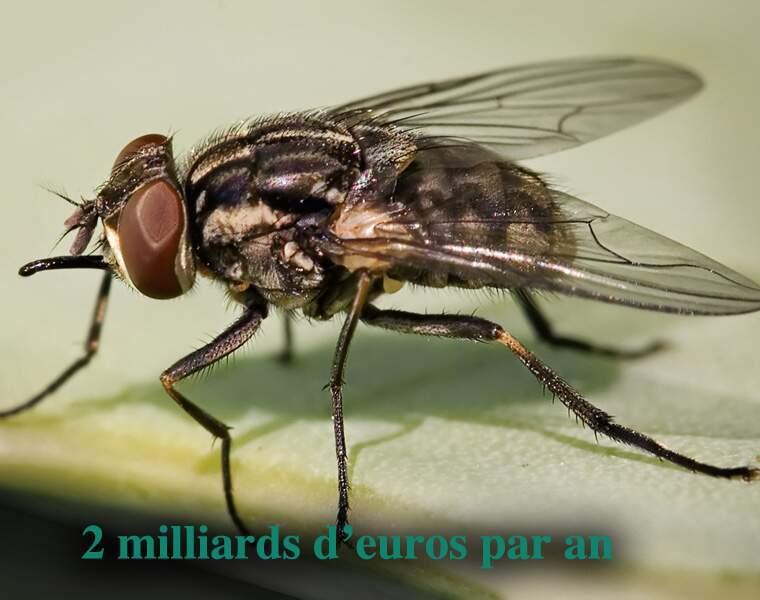 La mouche charbonneuse ou mouche piquante