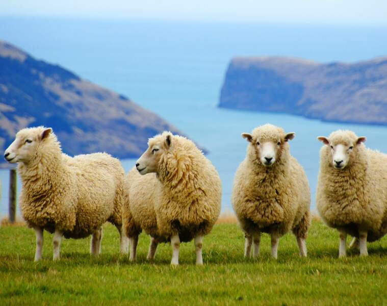 """Viande de mouton : rarement """"origine France"""", souvent de Nouvelle-Zélande"""