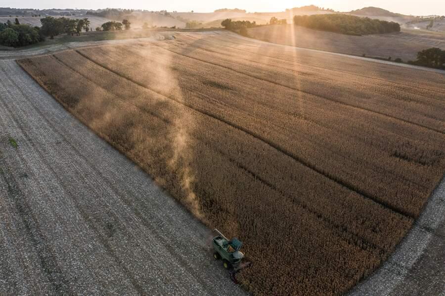 Un maïs sans OGM